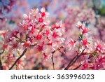 Wild Himalayan Cherry Flower...