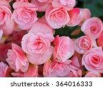 Pink Begonia In Garden