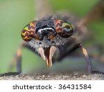 Haematopota Pluvialis Horse Fly