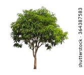 Isolated Mango Tree On White...
