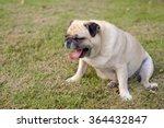 Pug Sat Yawning On The Grass...