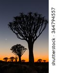 Small photo of Quiver trees (kokerboom) silhouettes in the quiver tree (aloe dichotoma) forest near Keetmanshoop at dawn, with crescent moon in blue and orange sky, Namibia, South West Africa