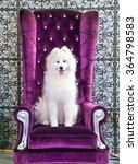 samoyed dog on the purple ...