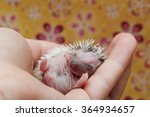 A young woman holds a sleeping baby in the hands of African pygmy hedgehog