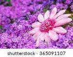beautiful sea of pink petals... | Shutterstock . vector #365091107