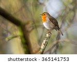 cute little robin bird singing   Shutterstock . vector #365141753