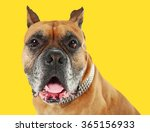 boxer dog on yellow background | Shutterstock . vector #365156933