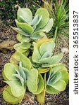 Kalanchoe Thyrsiflora Plant In...