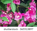 Bougainvillea Purple Flowers....