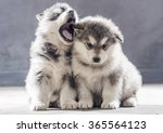 Stock photo portrait of one month old alaskan malamute puppys closeup in studio 365564123