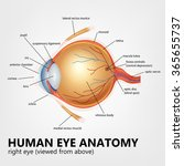 human eye anatomy  right eye... | Shutterstock .eps vector #365655737