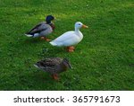 Domestic White Goose And Coupl...