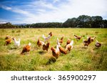 a flock of chickens roam freely ... | Shutterstock . vector #365900297