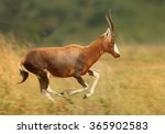 Adult Male Blesbok Damaliscus...
