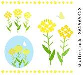 Canola Flower   Vector Eps10