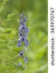 Small photo of Monkshood - Aconitum napellus Tall Blue Flower