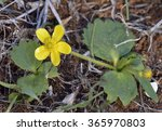 Small photo of Autumn Buttercup - Ranunculus bullatus Late flowering Mediterranean Buttercup