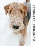 Small photo of airedale terrier close up portrait, snow weather, up view