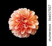 Orange Dahlia Flower Isolated...