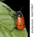 Small photo of Lachnaia, a genus of leaf beetles (Chrysomelidae)