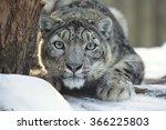 Snow Leopard  Uncia Uncia ...