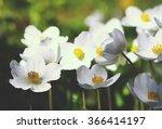 Anemona Vestal Flowers