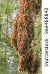 monarch butterflies on tree... | Shutterstock . vector #366488843