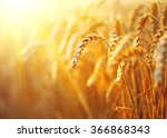 wheat field. ears of golden... | Shutterstock . vector #366868343