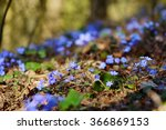 Blossoming Hepatica Flower In...