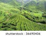 tea plantation at the cameron... | Shutterstock . vector #36690406