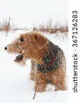 Small photo of airedale terrier portrait, outdoor, winter