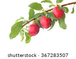 Red Plums On The Branch...