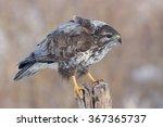 Small photo of Hoary buzzard