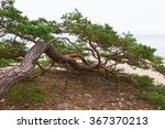 Old Pine Tree Growing On The...