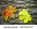 Detailed View Of Autumn Maple...