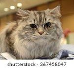 portrait of british longhair cat | Shutterstock . vector #367458047