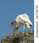 Two Wood Stork's Nesting On To...