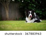 Border Collie Dog Licking Nose