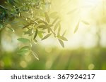 Small photo of Olive tree with leaves, natural sunny agricultural food background