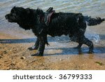 Dog newfoundland it is black colors ashore - stock photo