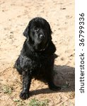 Dog newfoundland it is black colors on sand - stock photo