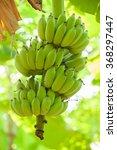 Unripe Bananas In The Jungle...