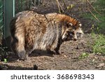 racoon dog | Shutterstock . vector #368698343
