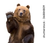 The Brown Bear Welcomes  Waves...