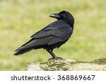Raven  Corvus Corax