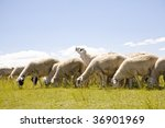 a group of sheep in the meadow | Shutterstock . vector #36901969