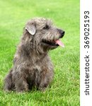 typical imaal terrier on a... | Shutterstock . vector #369025193