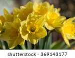 Small photo of April blooming Narcissi flowers arranged in vase for interior Daffodil, yellow spring flower in the Amaryllidaceae amaryllis familiy. Used for fragrances, medicinal plant as traditional medicines