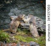 Small photo of Alpine Marmot in nature ,Hohe Tauern,Austria.
