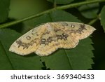 Small photo of The mocha (Cyclophora annularia) moth. An attractive moth that feeds on field maple (Acer campestre), in the family Geometridae